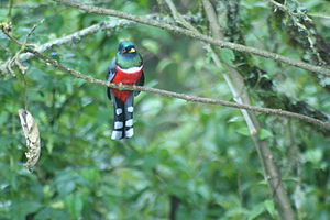 Trogon personatus -Colombia-6.jpg