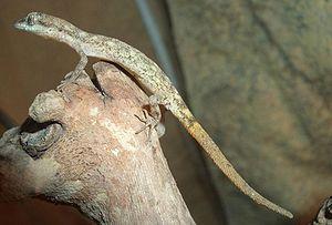 Dwarf desert gecko (Tropiocolotes steudneri)