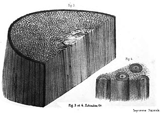 Psaronius - Tubiculites, the fossilized impressions of the rootlets of the Carboniferous fern called Psaronius.