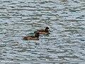 Tufted Duck (Aythya fuligula) (34338175950).jpg