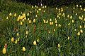Tulipa grengiolensis-001.jpg