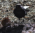 Tuolumne Meadows - Brewer's Blackbird - 3.JPG