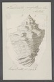 Turbinella pugillaris - - Print - Iconographia Zoologica - Special Collections University of Amsterdam - UBAINV0274 084 04 0013.tif