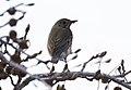 Turdus philomelos - Song Thrush, Adana 2020-02-16.jpg