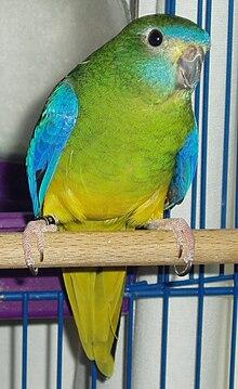 Turquoise Parrot-01.jpg