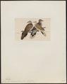 Turtur chinensis - 1820-1860 - Print - Iconographia Zoologica - Special Collections University of Amsterdam - UBA01 IZ15600399.tif