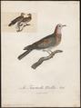 Turtur senegalensis - 1796-1808 - Print - Iconographia Zoologica - Special Collections University of Amsterdam - UBA01 IZ15600401.tif