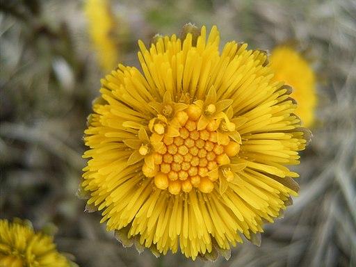 Tussilago-farfara-closeup