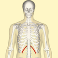 Twelfth rib frontal.png