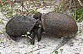 Two male Gopherus Polyphemus tortoises clash in a contest for mating rights with several females nearby... - Flickr - Andrea Westmoreland.jpg