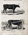 Two middle-horned breeds of cow, the Sussex and Herefordshir Wellcome V0021713EL.jpg