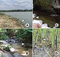 Typical habitat types of Glyphidrilus - ZooKeys-265-001-g003.jpeg