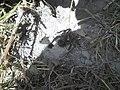 U prašumi tarantula.jpg