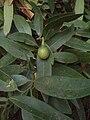 Umbellularia Fruit.jpg