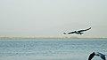 Unidentified birds in St. Martin's Island (02).jpg