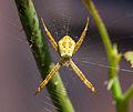 Unidentified spider, balcony, Yogyakarta 2015-02-11 02.jpg