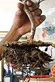 Uprooted bonsai.jpg
