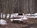 Ursus arctos, Alam-Pedja, 2011-04.jpg