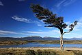 Větrem ošlehané stromy - panoramio.jpg