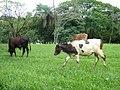 Vacas (3241371815).jpg