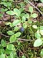 Vaccinium (Myrtillus) myrtillus.JPG