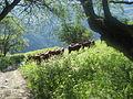 Vaches tarines au dessus du hameau des Granges 2.JPG