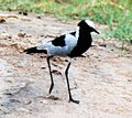 Vanellus armatus -Kruger National Park, Kenya-4.jpg