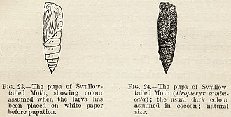 Camouflage - Experiment by Poulton, 1890: swallowtailed moth pupae camouflaged to match their backgrounds when larvae