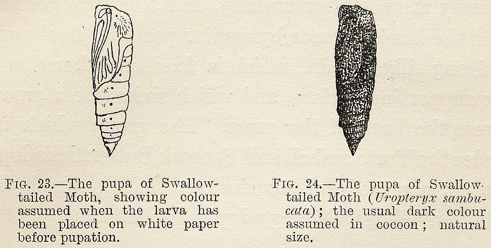 Variable Protective Resemblance in Lepidopterous Pupae