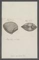 Venus punctata - - Print - Iconographia Zoologica - Special Collections University of Amsterdam - UBAINV0274 077 11 0010.tif