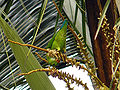 Vernal Hanging Parrot-2.jpg