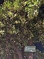 Viburnum lucidum.jpg