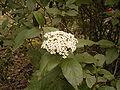 Viburnum rigidum (Breña Alta) 01 ies.jpg