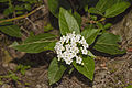 Viburnum tinus, Sète 03.jpg