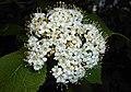 Viburnum veitchii 2016-05-09 9608.jpg