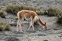 Vicuña in Chimborazo Wildlife Reserve.jpg