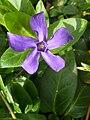 Vinca major ssp. hirsuta (Apocynaceae) flower.jpg