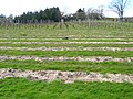 Vines, Chapel Down Winery - geograph.org.uk - 388829.jpg