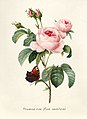 Vintage Flower illustration by Pierre-Joseph Redouté, digitally enhanced by rawpixel 83.jpg