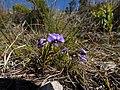 Viola decumbens Hangklip 01.jpg