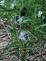 Viola elatior PID1555-4.jpg