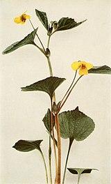 Viola pubescens var. pubescens WFNY-134B.jpg