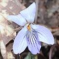 Viola vaginata (flower with ant).jpg
