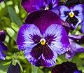 Viola x wittrockiana 'Azul con alas violeta', Jardín Botánico de Múnich, Alemania, 2013-05-04, DD 01.jpg