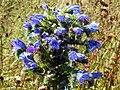 Viper's Bugloss (Echium vulgare) (24308472681).jpg