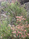 Vivianiaceae9