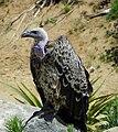 VultureSDSafariParkJul10.jpg