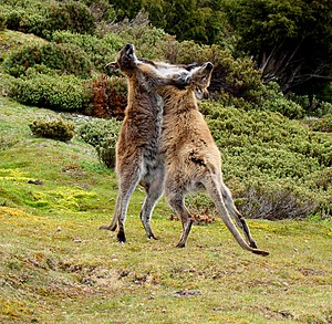 Cradle Mountain-Lake St Clair National Park - Two male red-necked wallabies fighting near Mount Ossa
