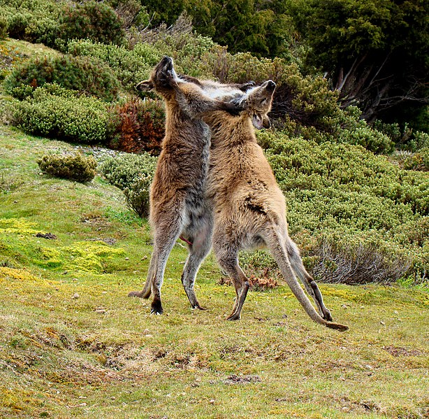 File:Wallaby-fighting-Tasmania.jpg