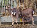 Walldorf Tierpark 2015 Sikahirsche.JPG
